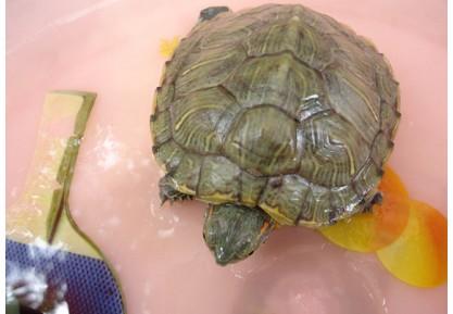 可爱的小乌龟