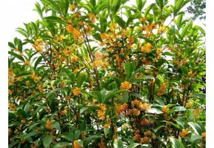 校园的桂花树